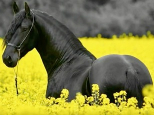 HORSE:YELLOW FIELD
